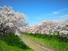 桜 cherrytree