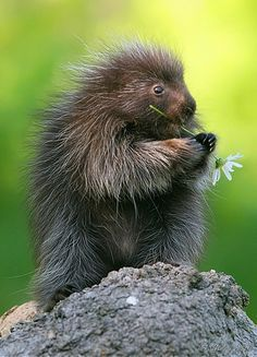 Porcupine by Gerry Sibell