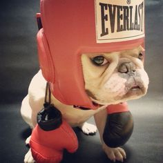 My Trainer Keeps Telling Me I'm a Boxer, not a French Bulldog. I Just Dont Know......... by chalky0528