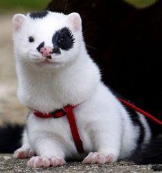 Black and white ferret - Love it's markings! so cute