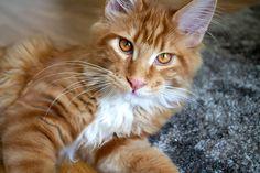 Big Boys, Cats, Instagram Posts, Animals, Gatos, Animales, Animaux, Animal, Cat