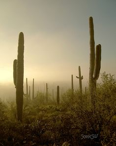 A rare morning mist in the Sonoran Desert near Phoenix, Arizona.