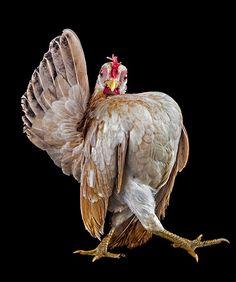 Struttin' - A photo of Ayam Serama rooster taken by an Artist.