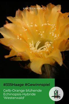 """Kakteen-Haage feiert 335 Jahre gärtnern in der #Blumenstadt #Erfurt! Statt Party gibt es Gewinnspiele - und dieser Echinopsis-Hybride """"Westerwald"""" eröffnet die Reihe auf #Facebook! #335Haage #Gewinnspiel #Haagelife #Gärtner #Kaktus #Cactus #ilovecactus"""