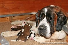 New born Puppies St. Bernard Fondation Barry