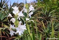 A Polianthes tuberosa e uma herbácea, pertence à família Asparagaceae, nativa do México, ereta, acaule, decídua, de crescimento lento, com 50-80 cm de ......