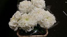 #Chrysanthemum #Francoise White; Available at www.barendsen.nl