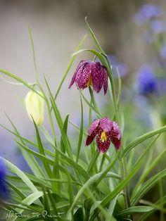 Leinwandbild, Kunstrduck oder Fototapete Schachbrettblumen.