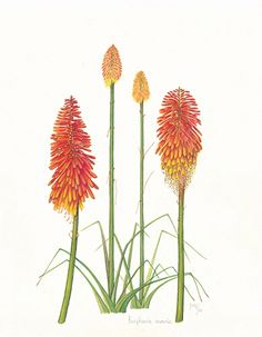Red hot poker drawing joa casino uriage facebook