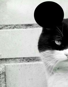 ....A cat with Mickey Mouse ears, awesome ...