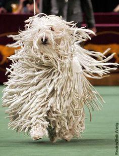 Komondor Dog Este clase de perro es originaria de Hungria, su pelaje se asemeja a las dreadlocks.
