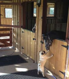 Pug and horse