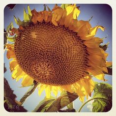 Sunflower 8x8 Instagram Photo Print by HeatherZahnGardner on Etsy, $15.00 Wreaths, Etsy Shop, Art Prints, Unique Jewelry, Handmade Gifts, Photography, Vintage, Instagram, Art Impressions