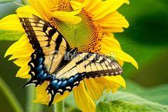 トラフアゲハ Eastern Tiger Swallowtail butterfly (Papilio glaucus)
