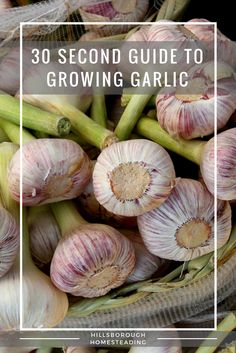 Quick and dirty, 30 second guide to growing garlic. Everything you need to know to get started growing this cash crop! Growing Herbs, Growing Vegetables, Garlic Benefits, Cash Crop, Organic Garlic, Organic Gardening Tips, Vegetable Gardening, Urban Gardening, Veggie Gardens