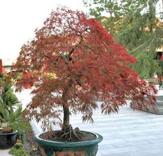 I love cut leaf maple trees such as this one.