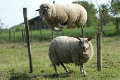 FARMHOUSE – ANIMALS – time to count sheep. Here's a high jump.