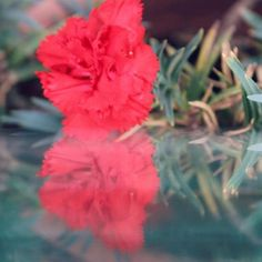 ♥️🍒🐞🐞 #photography #picoftheday #flowers #redflower #photooftheday #instadaily #instanature #bloom #carnation #redcarnation #love #happy #instaflower #nature #beautiful