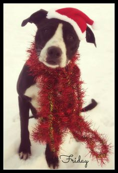 """URGENT!!! Meet lovable girl """"FRIDAY"""" (very sweet & gentle...needs TLC)!!!! FOUND IN DEC...with tags...Please stop by & meet her in person...MAHONING DOG POUND Youngstown, Ohio...CONTACT: fofmcdp@gmail.comAvailable: 12/13Friday (ID #1076) Gorgeous and sweet female pit mix. She was picked up on Mahoning Ave in Alliance. She is wearing tags, so hopefully she will be home soon. Otherwise she is available 12/13 for adoption.All..."""
