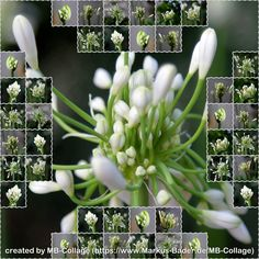 Create Collage, Agapanthus, Basic Colors, Shapes, Simple