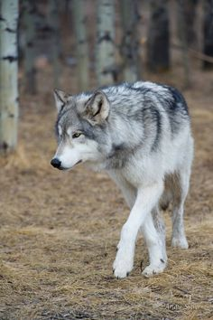 wolf | animal + wildlife photography #wolves