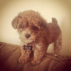 Teacup maltipoo. O....M....GOSH! (Sorry for all the dog pictures :D )