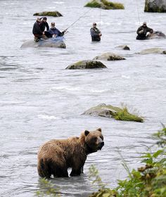 Grizzly Bear Fishing - Get tips for #Alaska #Fishing Trips: http://www.thewondermap.com/alaska-fishing-trips/