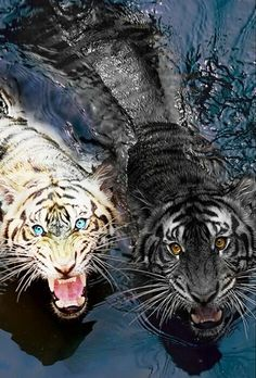 A true story about the tiger eating 400 peopel Nature Animals, Animals And Pets, Baby Animals, Cute Animals, Cute Creatures, Beautiful Creatures, Animals Beautiful, Tableau Pop Art, Black Tigers