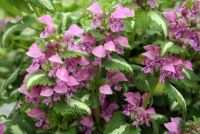 Lamiums are very hardy low growing ground covers. 'Sensation' has beautiful green and silver foliage that is complemented by large deep rose pink flowers. Look great when mixed with other perennials to form a lovely cottage garden.