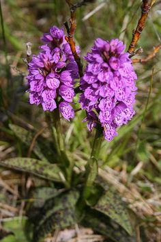 Brönugrös (Dactylorhiza maculata ssp. islandica) by gudnysigga, via Flickr