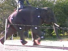 "Asian elephant ""Big"" running through race in Thailand; still frame from video by John R. Hutchinson."