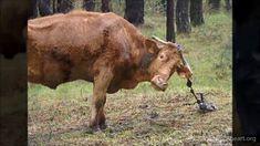 Rescate de 16 vacas maltratadas