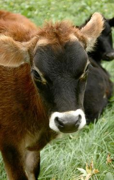 Bildergebnis für mini kühe jersey