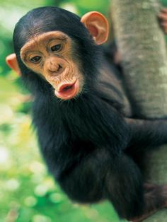 1. Chimpancé  Es el animal más parecido a los humanos y cuenta con un gran desarrollo intelectual. Cazan, recolectan alimentos, tienen roles en sus comunidades, su lenguaje está muy desarrollado y cuentan con una gran memoria.