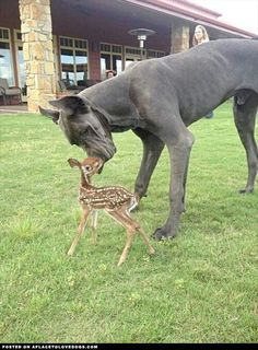 It would be so fun to have a Great Dane.... a baby deer would be sweet too! Can you believe this pic!