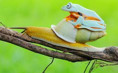 A lazy frog sits comfortably on the back of a snail's shell in a park in Tangerang, Indonesia