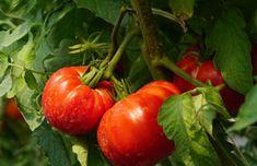 Dziadek zdradził mi swój sposób na obfite plony pomidorów. Nigdy wcześniej tyle nie zebrałem - Smak Dnia My Secret Garden, Garden Gifts, Gardening Tips, Food And Drink, Vegetables, Rustic, Lawn And Garden, Balcony, Vegetable Recipes