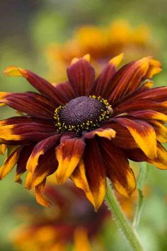 Rudbeckia hirta Cappucino; height 2 ft. ; space 15 inches apart; sow in cell tray; full sun/part sun.