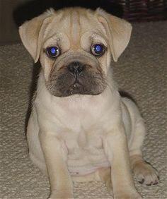 Ori Pei Puppies   Lucy, the female Ori-Pei puppy