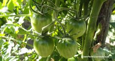 Tomates de tipo cherry