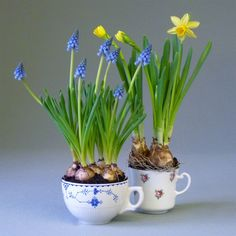 tea cup and plant some spring bulbs in them. What a great gift for someone.an old tea cup and plant some spring bulbs in them. What a great gift for someone. Garden Bulbs, Planting Bulbs, Bulb Flowers, Flower Pots, October Baby, Baby On A Budget, Spring Bulbs, Rich Life, Delphinium
