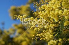 Wattle Bloom in Soft Focus Royalty Free Stock Photo Abstract Photos, Image Now, Royalty Free Stock Photos, Bloom, Yellow