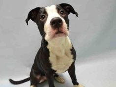 ★11/15/15 STILL THERE!★Brooklyn Center MOLLY – A1057521  FEMALE, BLACK / WHITE, AM PIT BULL TER MIX, 9 mos  STRAY – STRAY WAIT, NO HOLD Reason STRAY  Intake condition EXAM REQ Intake Date11/11/2015, From NY 11238, DueOut Date11/14/2015,  Urgent Pets on Death Row, Inc