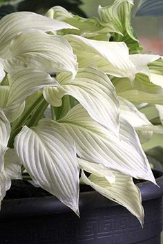 vita rabatt Hosta White Feather (Hosta) En unik so - Shade Garden Plants, Hosta Plants, Shade Perennials, White Feather Hosta, White Feathers, Hosta Varieties, White Gardens, Outdoor Plants, Dream Garden