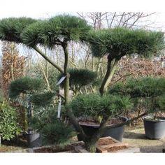Pinus Contorta  Acheter Vos Arbres chez le spécialiste du Jardin Zen français . ART Garden www.art-garden.fr