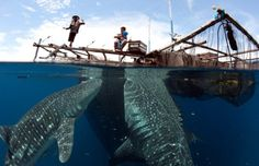 whale sharks indonesia