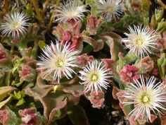 Ice Plant or Barilla is a pretty and useful plant found on Tenerife