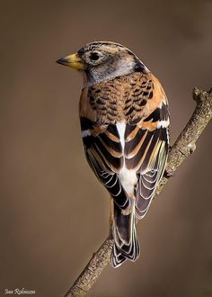 The brambling, a beautiful little bird around the same size as the finch family by Ian Robinson - Pixdaus.