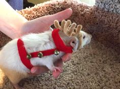 DIY-Rat-Reindeer-Harness. This is so cute!