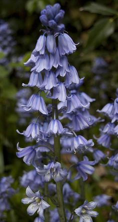 Bluebells - Uncommon Fall Planted Bulbs for Spring Flowers